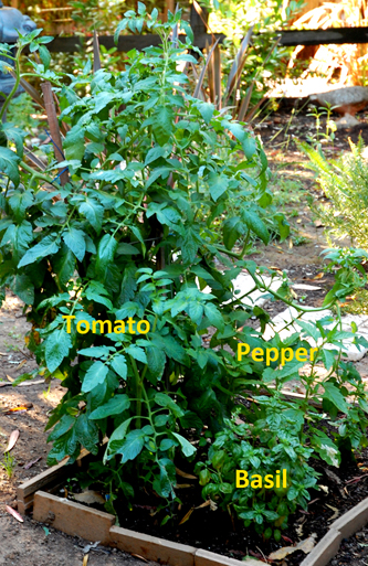 tomatoe1b Growing Green Post #3   Green Gardening