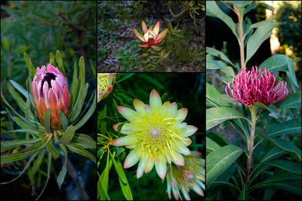 proteus1 Ranch Protea Garden