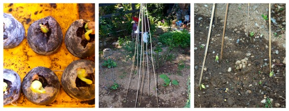beanteepee Garden Progress