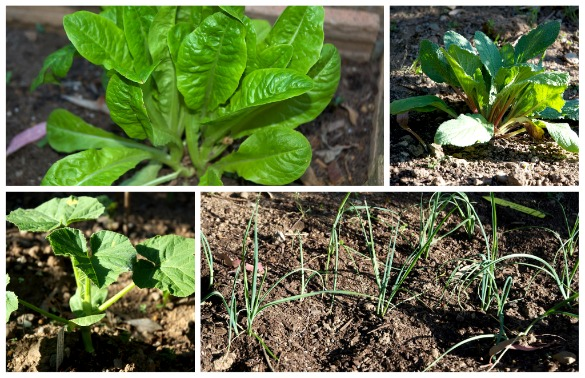 veggies Garden Progress