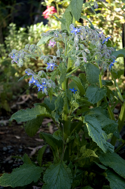 borage The Gardens Growing