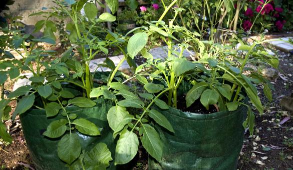 potato The Gardens Growing
