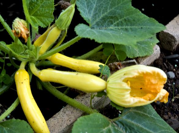 squash The Gardens Growing