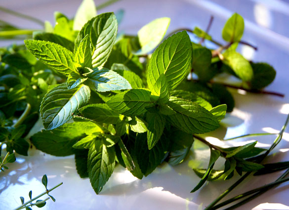 mint Bounty of Herbs