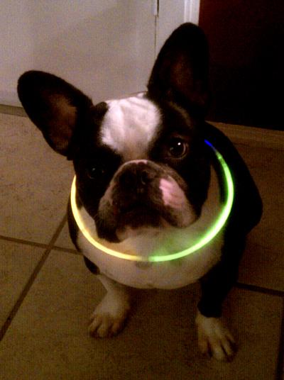 french bulldog Bubba