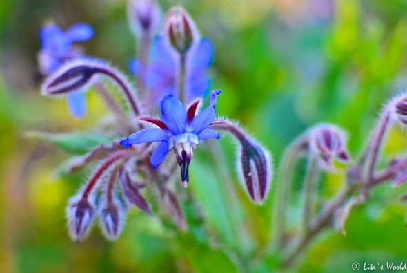 Borage bloom
